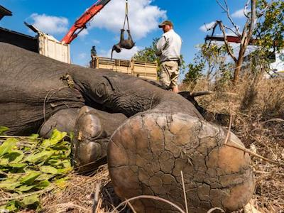 An anesthetized elephant waits to be lifted humanely by crane into a wake-up crate where it was driven 600km and released into Nkhotakota Wildlife Reserve, Malawi