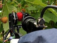 Cueillette des framboises par le robot de l'Université de Plymouth. Illustration: Université de Plymouth.
