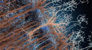 En marron, les neurones existants, en marron clair, au centre, un néo-neurone adulte. En bleu les synapses qui se connectent aux néo-neurones. © Institut Pasteur/PM Lledo
