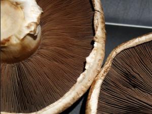 Portabella paddenstoel, foto: Cyclonebill | Flickr