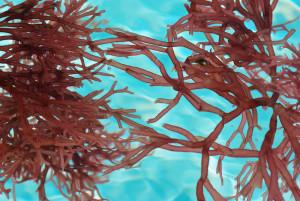 Carrageenan, gewonnen uit rood zeewier, blijkt lithium/zwavel-batterijen te stabiliseren (foto: Deborah Maxemow/istock).