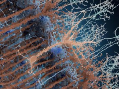 L'incessant dynamisme du cerveau adulte
