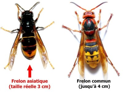 The ASIAN FRELON trap (Vespa Velutina)