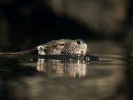 De otter is terug in Nederland!