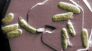 Durchbruch bei Biobatterien