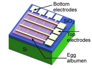 Ein elektronisches Bauelement, das teilweise aus Einer-Proteinen besteht. Bild: American Chemical Society
