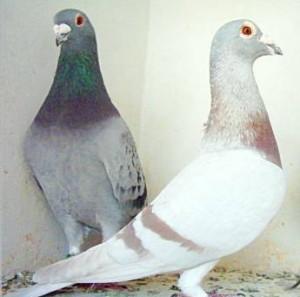 Les pigeons anglais sont à haut débit